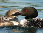 Adult and immature common loons
