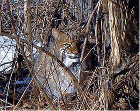 bobcat in the woods