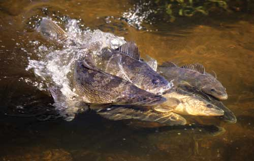 spawning walleye