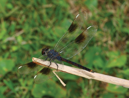 A four-spotted pennant dragonfly on a twig