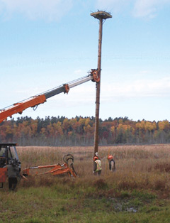 Osprey nesting platform being placed with a crane