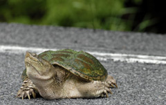 Snapping turtle crossing a paved road