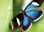 A butterfly with iridescent blue and black wings