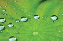 Close-up of a lotus leaf with water droplets