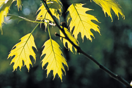 Yellow fall foliage of the Northern red oak