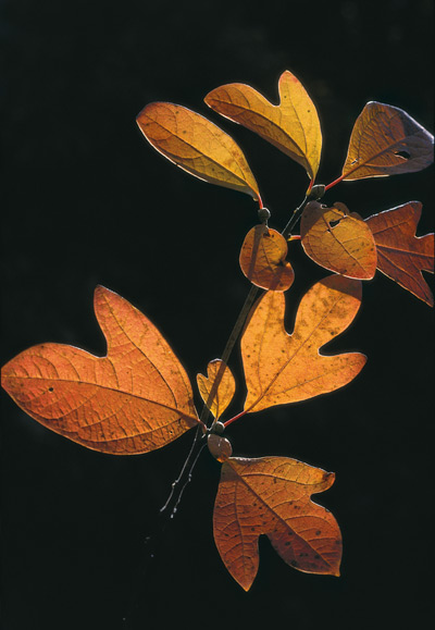 Orangey-yellow Sassafras tree leaves