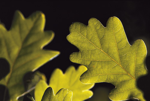 Close up of the leaves of the white oak tree