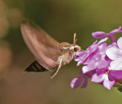 Hawk moth feeding at some pink flowers