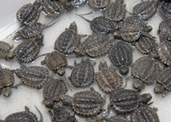 Many baby snapping turtles