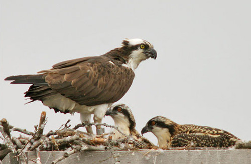 An adult osprey with two young at the nest