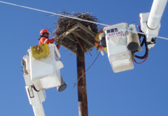 A utility company worker in a cherry picker maintaining an osprey nest
