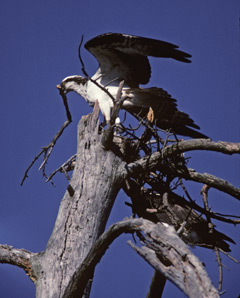 An osprey perched atop a dead tree