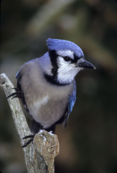 A blue jay on a twig