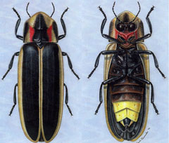 A color illustration of the top and underside of a firefly