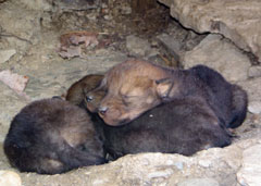 A den of sleeping coyote pups
