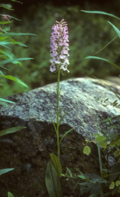 A pale lilac-flowered orchid in front of a rock in the wild