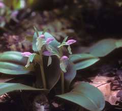 A low pink-flowered orchid with wide green leaves