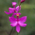 Close-up of the flower of the grass pink orchid