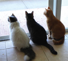 Three cats sitting indoors looking outside through a glass door