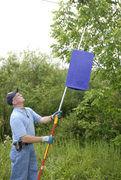 A man putting a purple insect trap into a tree