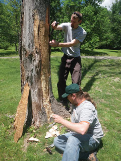 Two men examining an ash tree for signs of EAB damage