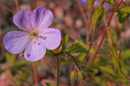 A close-up of the purple flower of the wild geranium