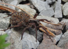 A large spider climbing on rocks with young spiderlings on her back