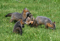 Gray fox pups playing in the grass
