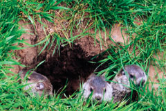 Three baby groundhogs peeking out from their hole in the ground