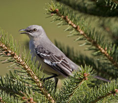 A mockingbird perched in evergreen branches