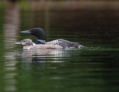 An adult and baby loon in the water