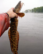 A burbot fish being held up in the air