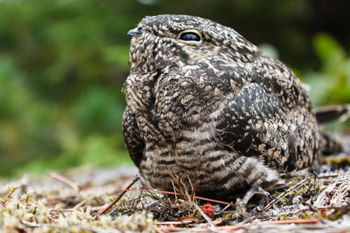 A common nighthawk sitting on the ground