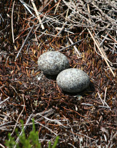 Two goatsucker eggs on bare ground