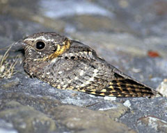 A small black, tan and gray bird sitting on a rock