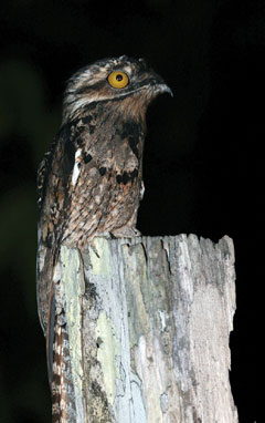 A brownish bird called a potoo with a big yellow eye on top of a post