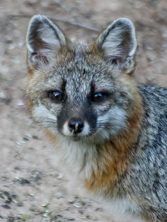 The head of a gray fox