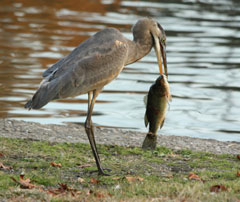 A great blue heron with a large bass in its beak, standing at the water's edge