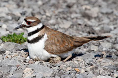 A killdeer sitting on it's nest in a gravelly area