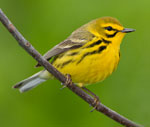 A bright yellow prairie warbler perched on a twig