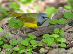 A mourning warbler walking on the ground