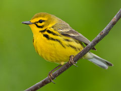 A yellow prairie warbler perched on a twig