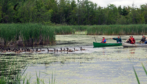 Volunteers in canoes drive Canada geese into an area of a pond