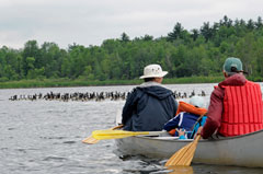 A canoe paddled by two persons, approaches a large group of Canada geese on the lake