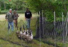Three men drive a group of Canada geese into a netted enclosure