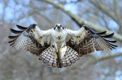 An osprey about to land