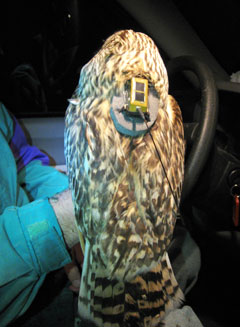 The back of an owl showing the attached tracker
