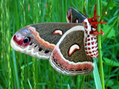 A giant cecropia moth on a stem