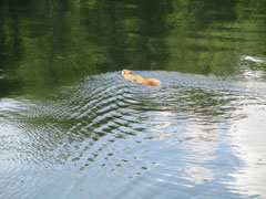 A squirrel swimming across the water