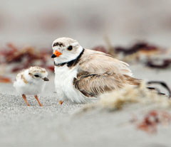 A piping plover and young chick sitting in the sand